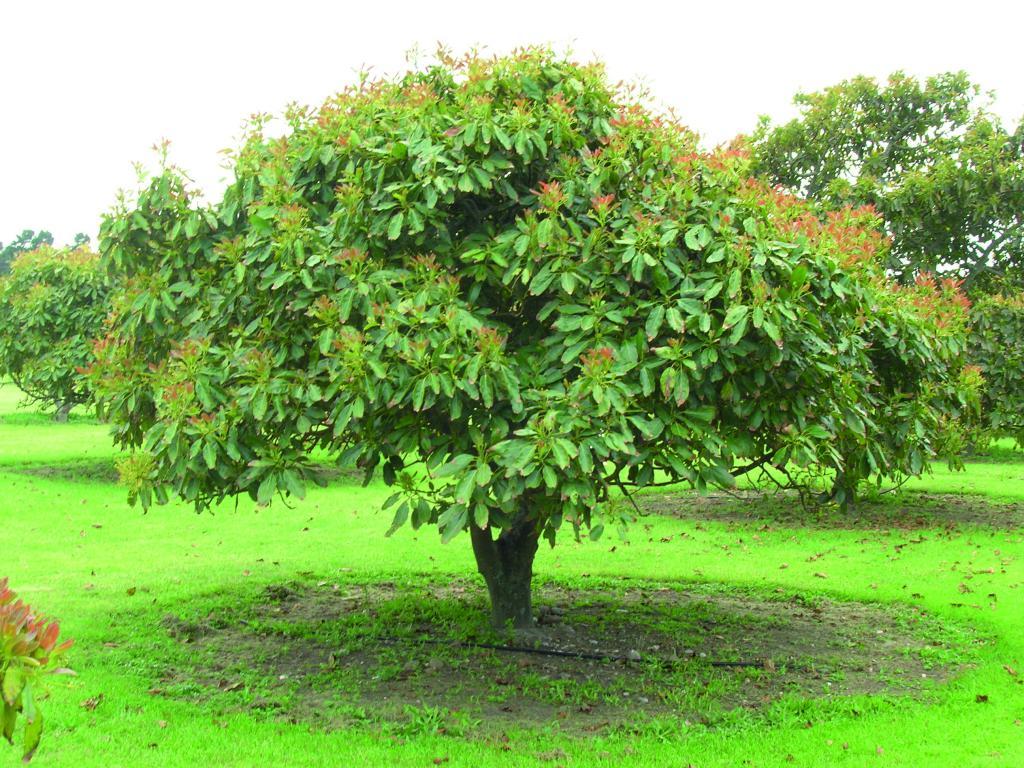 derevo-avocado