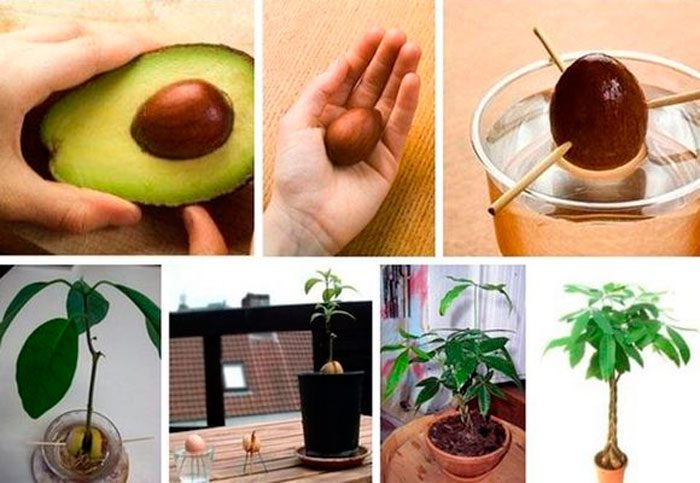 kak-prorastit-avocado