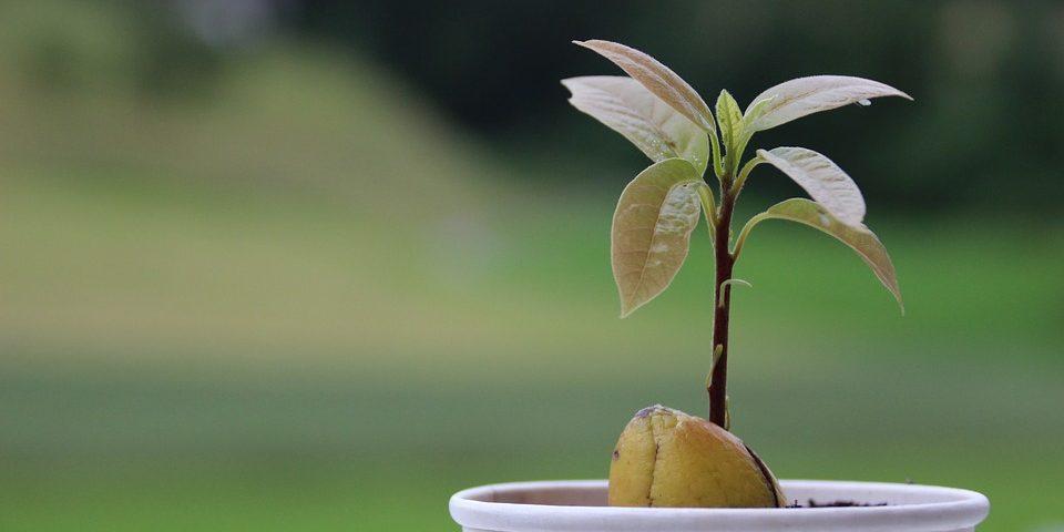 kak-posadit-avocado